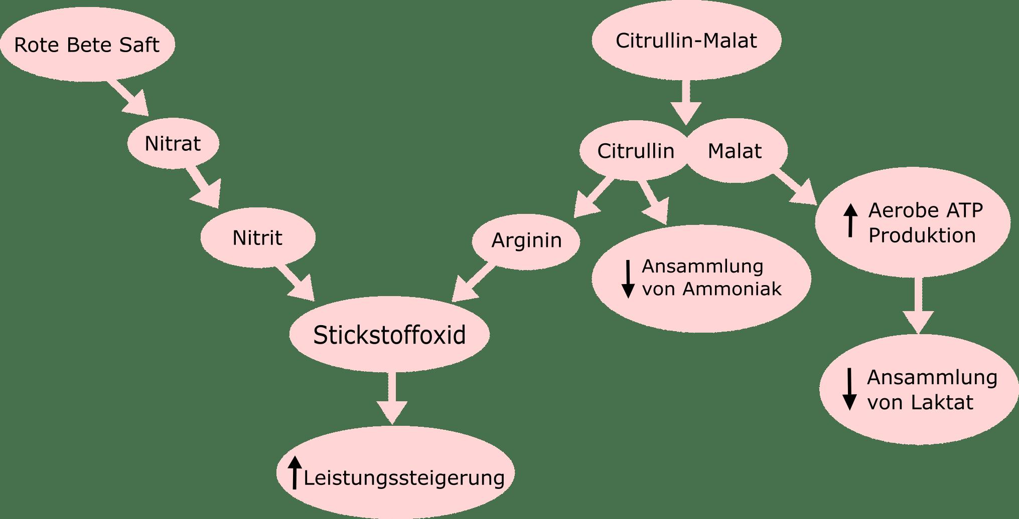 L-Citrullin: Stickstoffoxid-Stoffwechsel Schaubild